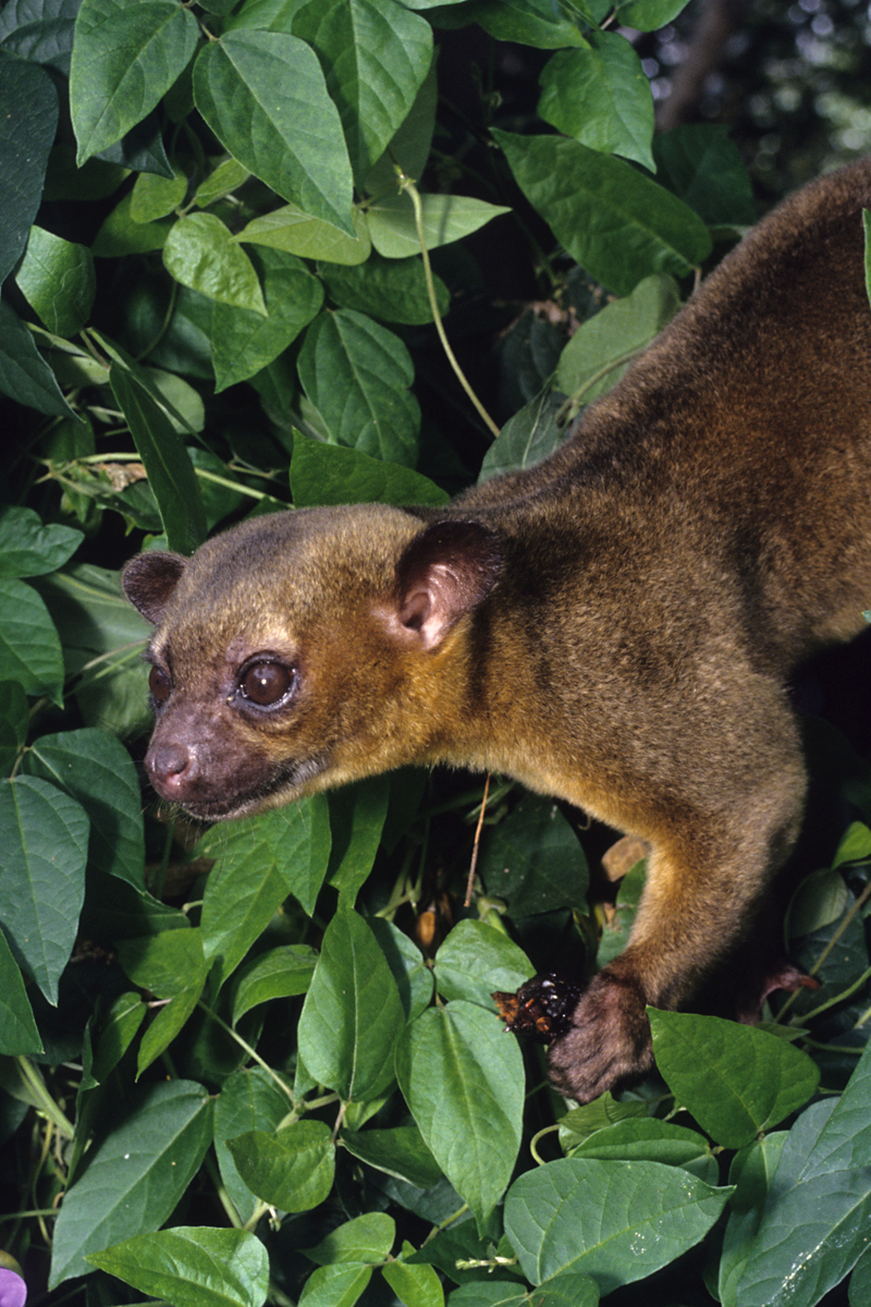 a Kinkajou in a tree