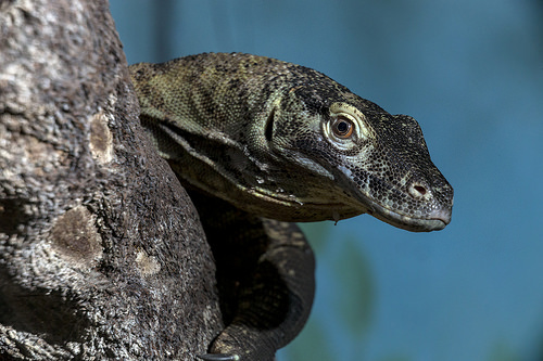 a young komodo dragon in a tree