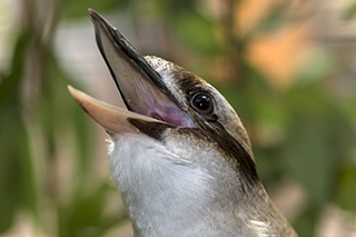 "Laughing kookaburra making ""laugh"" with bill open"