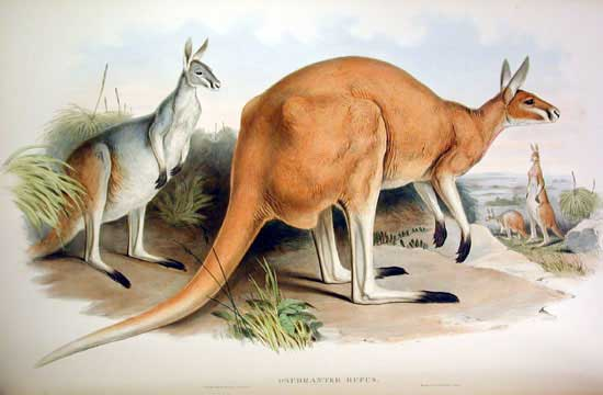 Illustration of a red kangaroo by John Gould