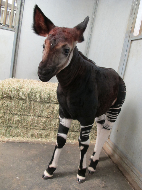 Okapi calf at San Diego Zoo Safari Park stable