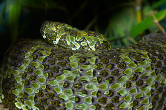 Mangshan pit viper, curled up