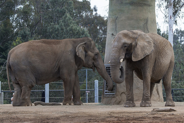 Asian Elephant (left) has smaller ears than African Elephant (right)