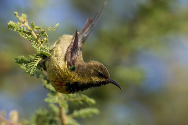 Immature Beautiful Sunbird hangs from a branch
