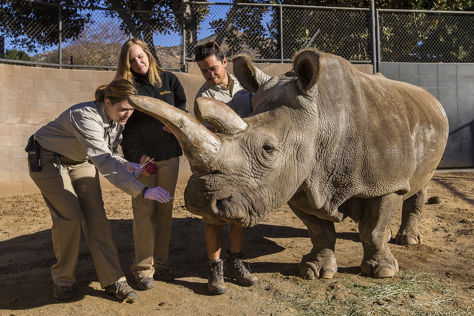 Nola, a white rhino, gets a vet exam