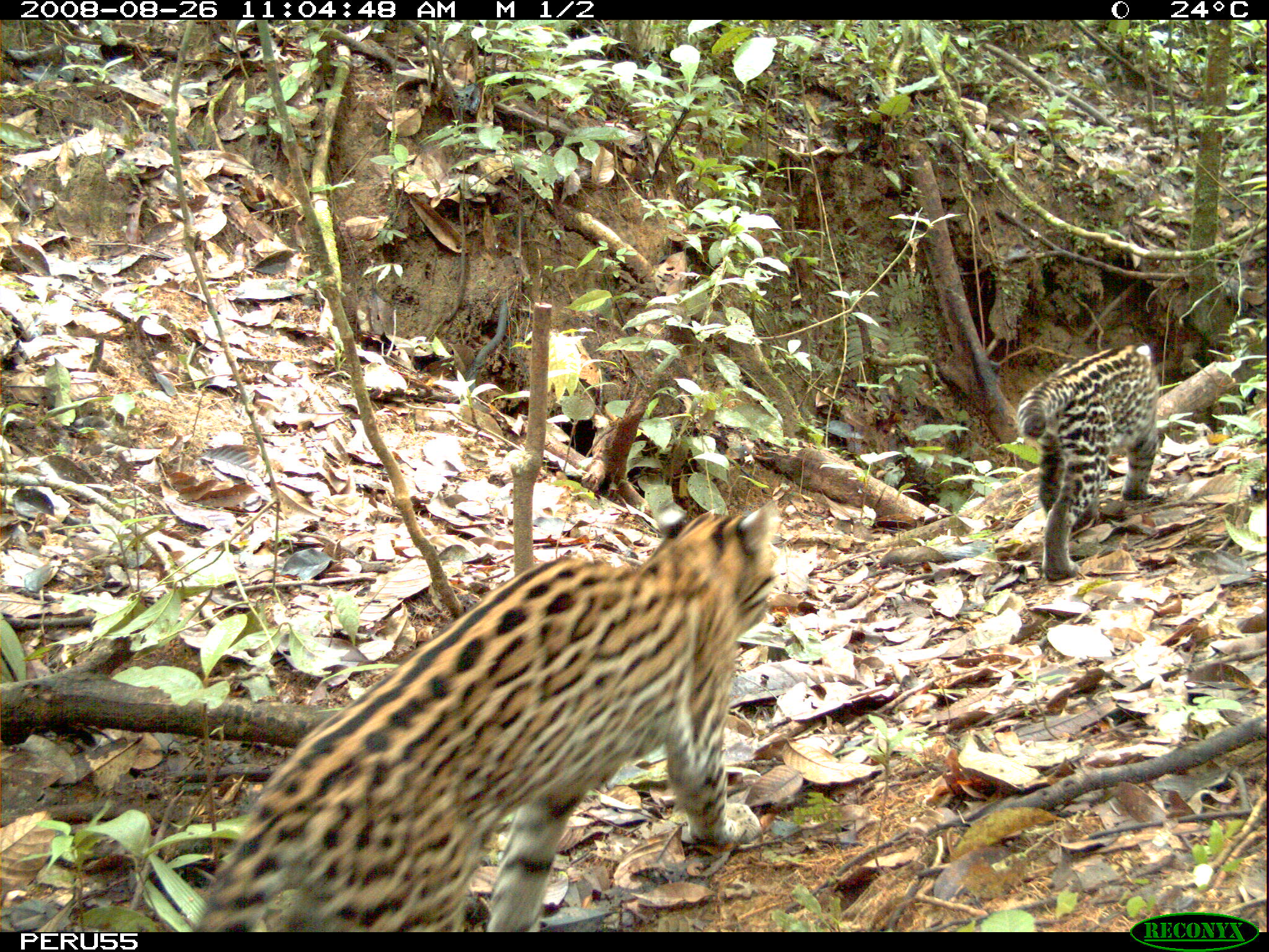 Ocelot group