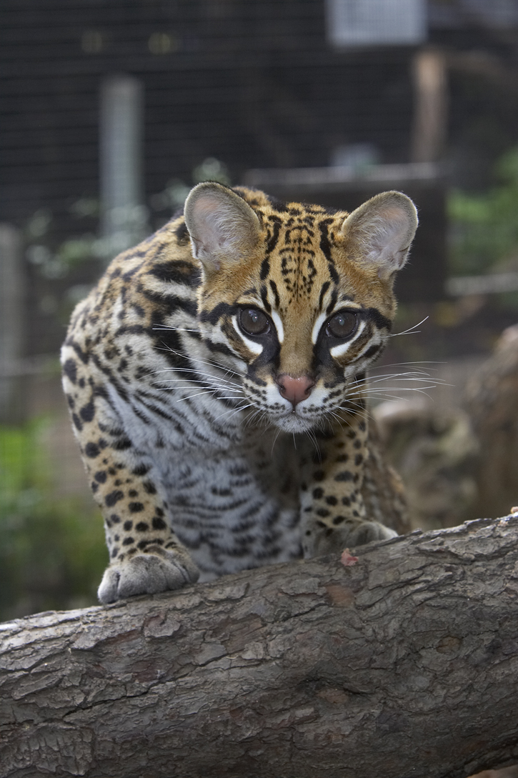 Ocelot on a log