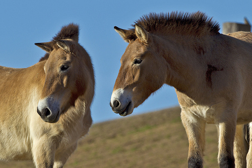 two Przewalski's horse standing near each other