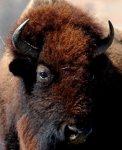 Head of American Bison