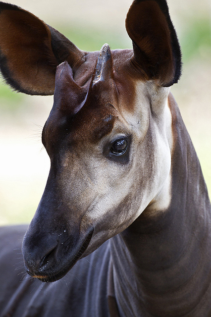 Okapi head