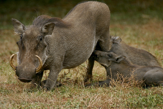 a female Common Warthog and young