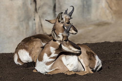 Pronghorn at the San Diego Zoo