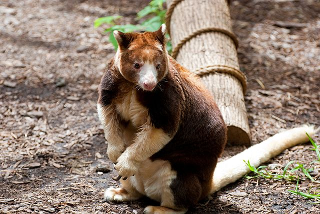 Tree kangaroo sitting on ground
