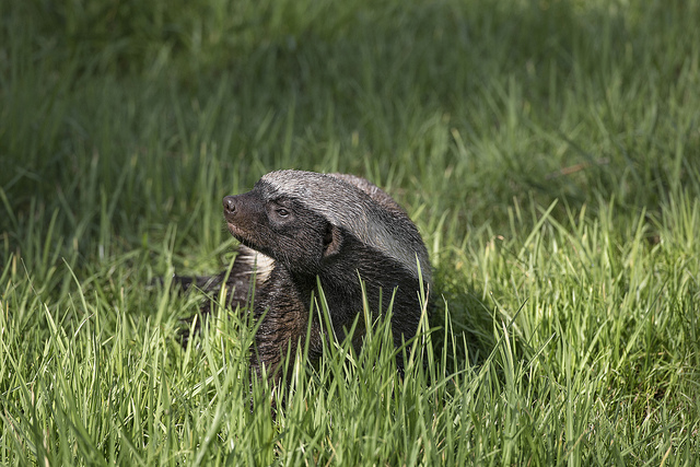 a Ratel (honey badger) in grass