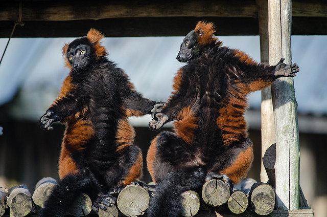Red-ruffed lemurs sunning