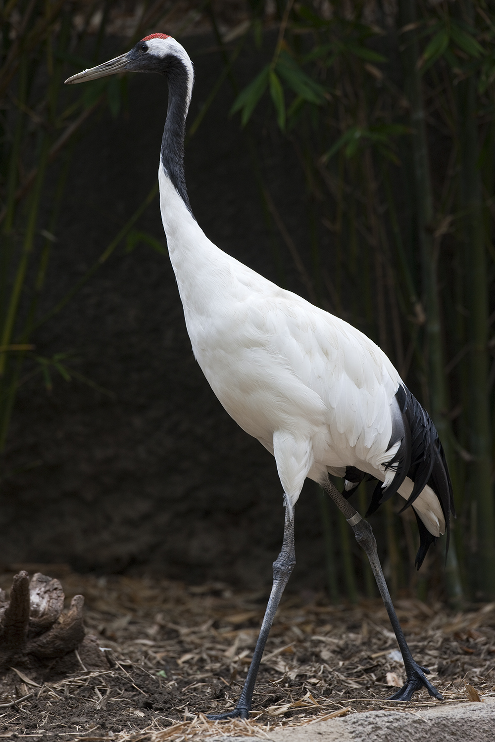 Red crowned Crane adult