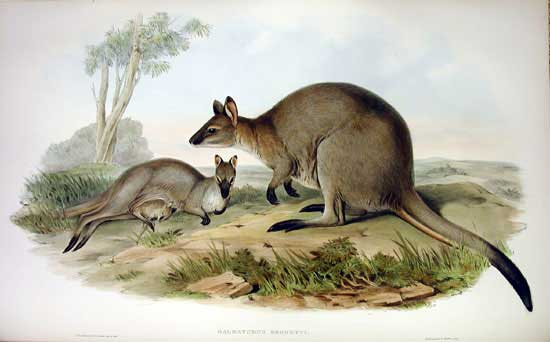 Illustration of red-necked wallaby by John Gould, 1863