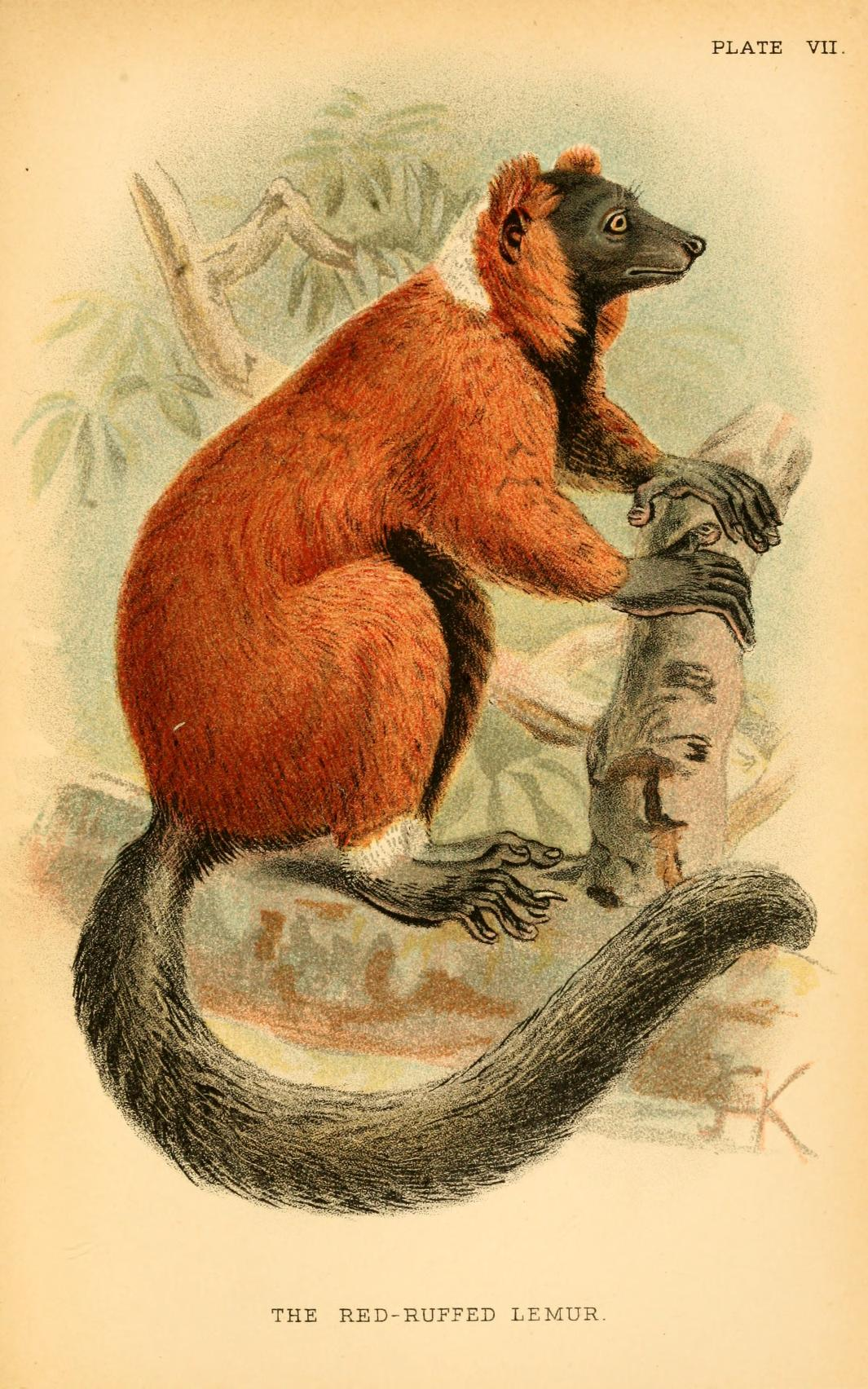 painting of a Red-ruffed Lemur