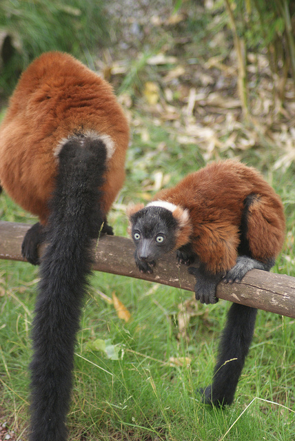 Red-Ruffed Lemur young