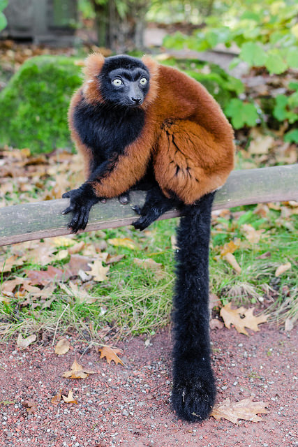 Red Ruffed lemur tail