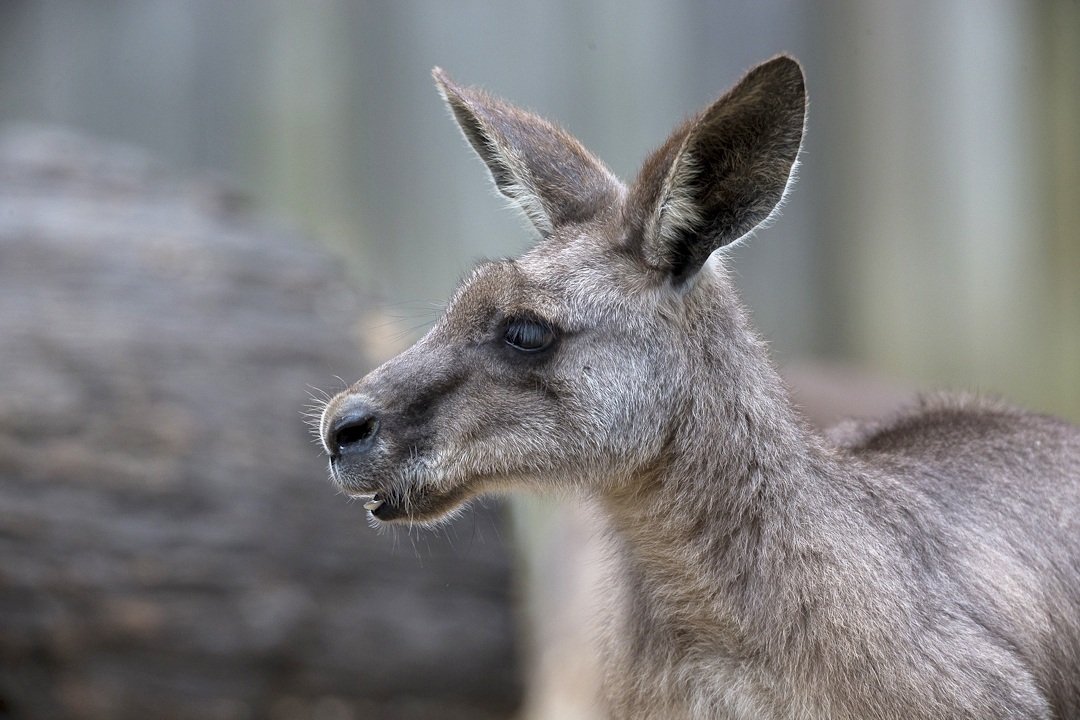 the coat of a red kangaroo