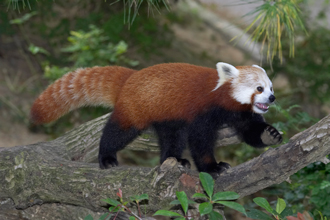 Red Panda walking on a limb