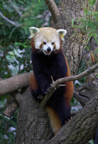 Red Panda perched in tree