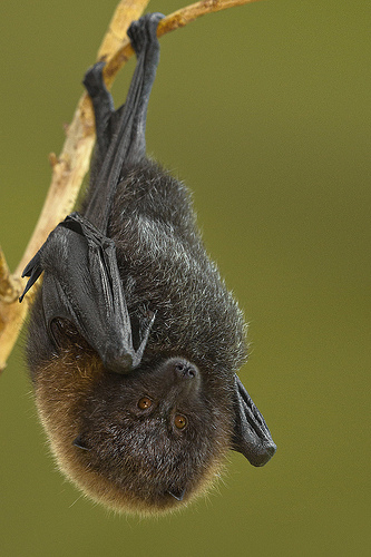 Rodrigues Fruit bat hanging