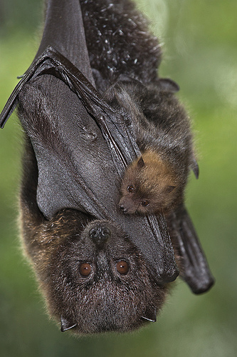 Rodrigues fruit bat mother grasping pup