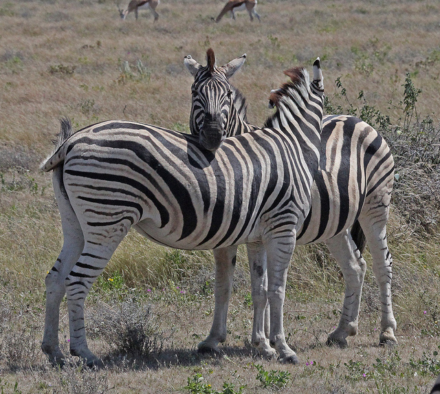 social interaction between two zebra
