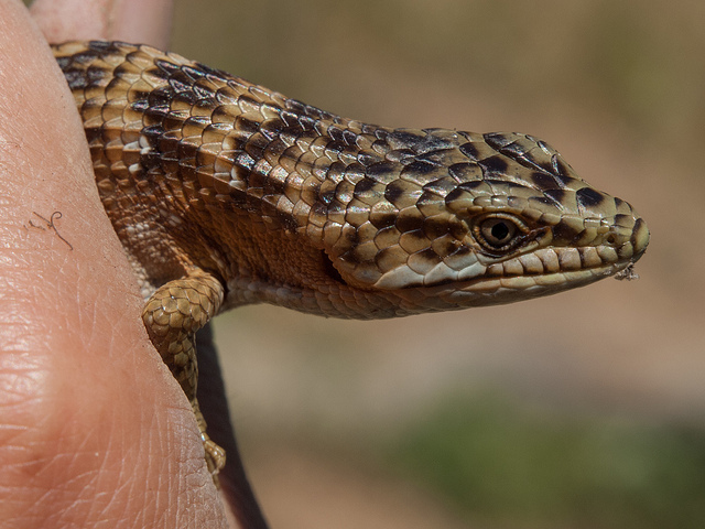 Head of a Southern Alligator Lizard