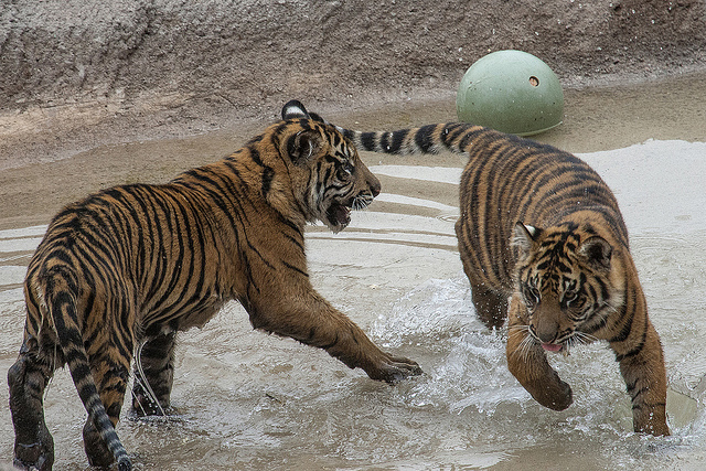 Sumatran tigers playing in water