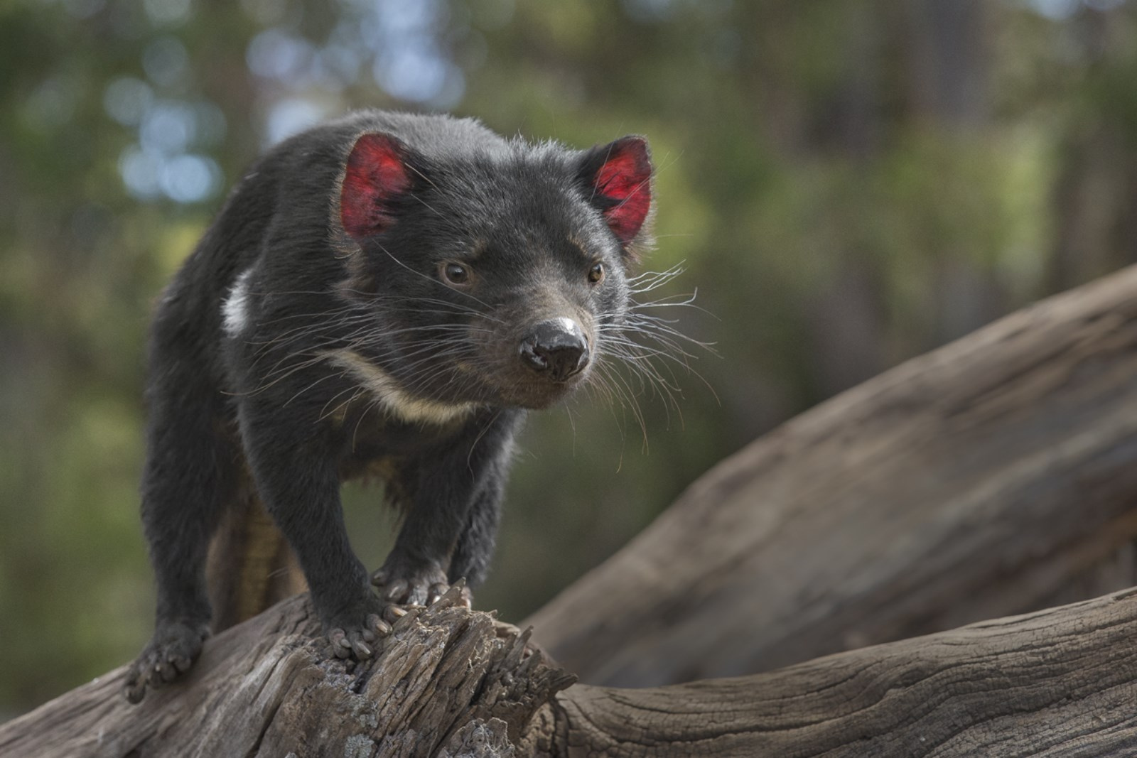 Tasmanian devil balancing on branch