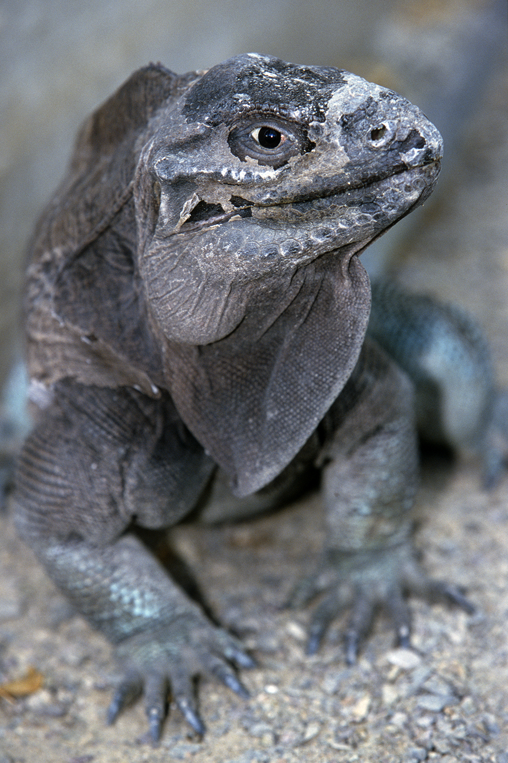"This individual has a ""mossy"" look to it, similar to some other Anegada iguanas with broad stripes on their sides."