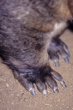 Five toes of a wombat