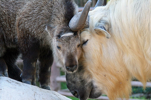 Adult and calf takin touching foreheads