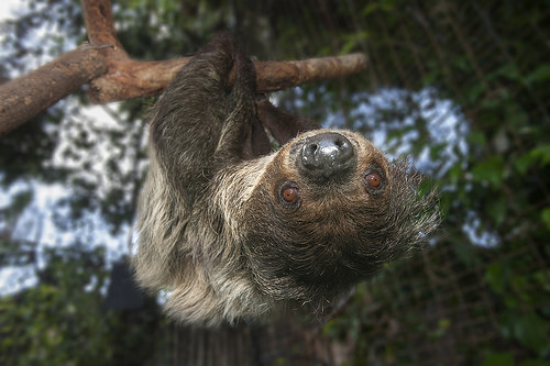 Sloth hangs upside down, looks into camera