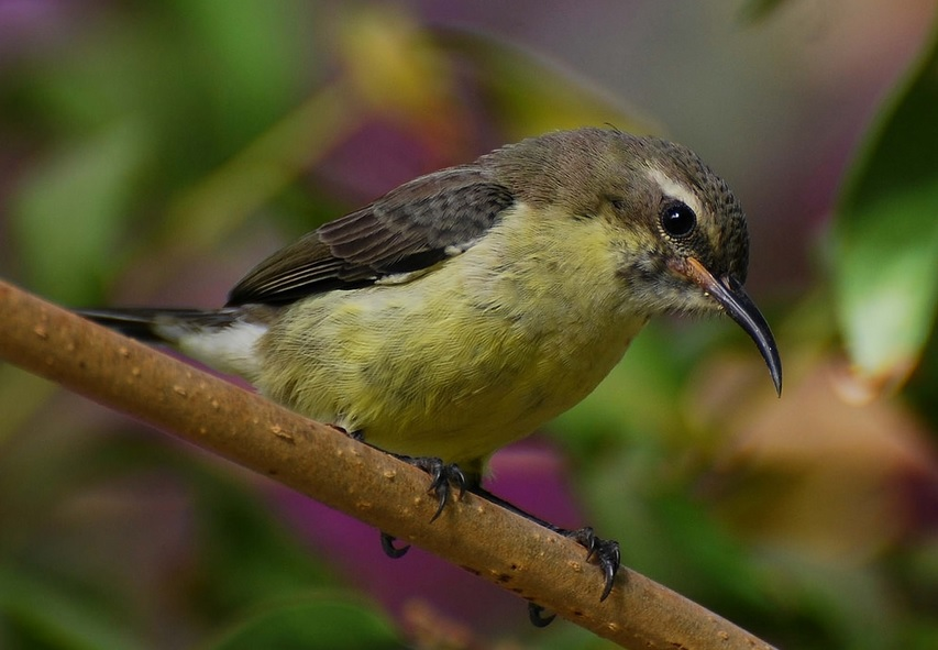 Plumage of a juvenile Beautiful Sunbird