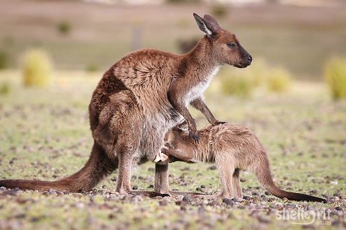Western gray kangaroo mother with nursing joey
