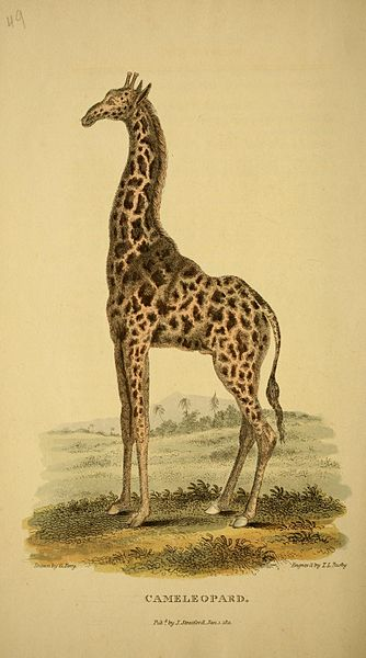 "Early illustration of ""Cmeleopard"""