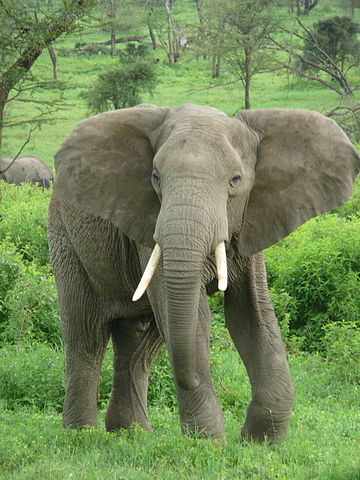 African Elephant near Ndutu Lodge on the border of the Serengeti and Ngorongoro Conservation Area in Tanzania.