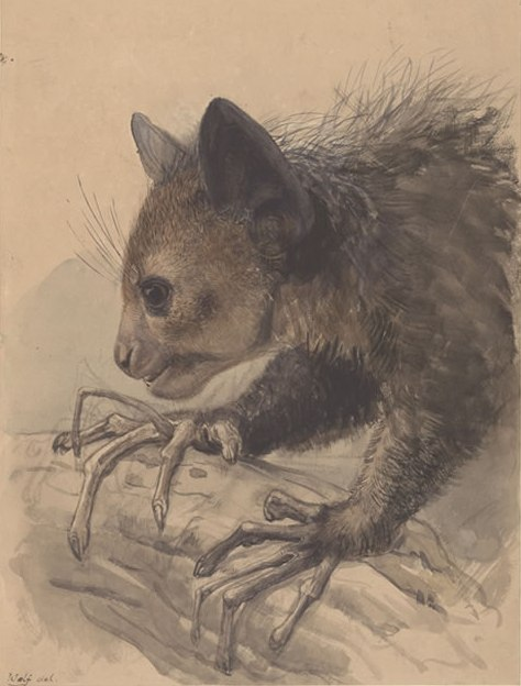 a drawing of an Aye-Aye