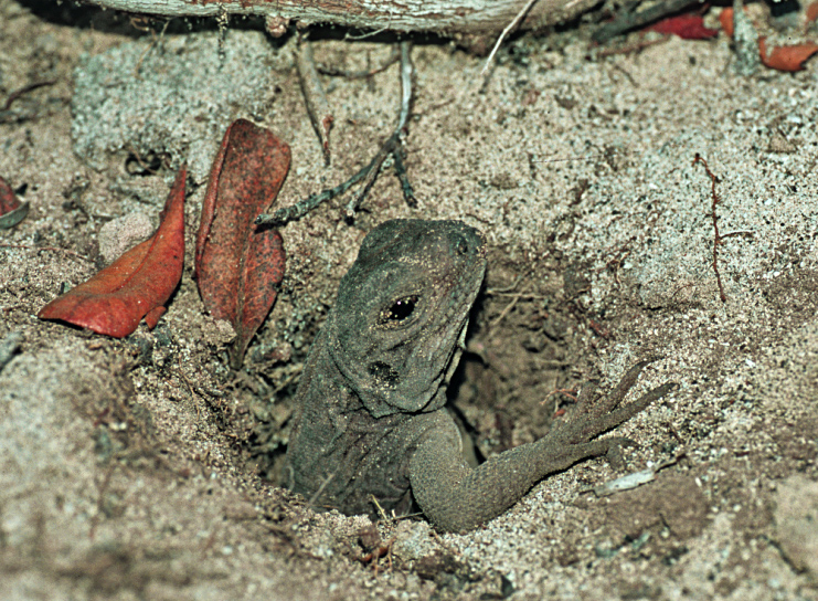 Anegada iguana hatchling emerges from sandy nest