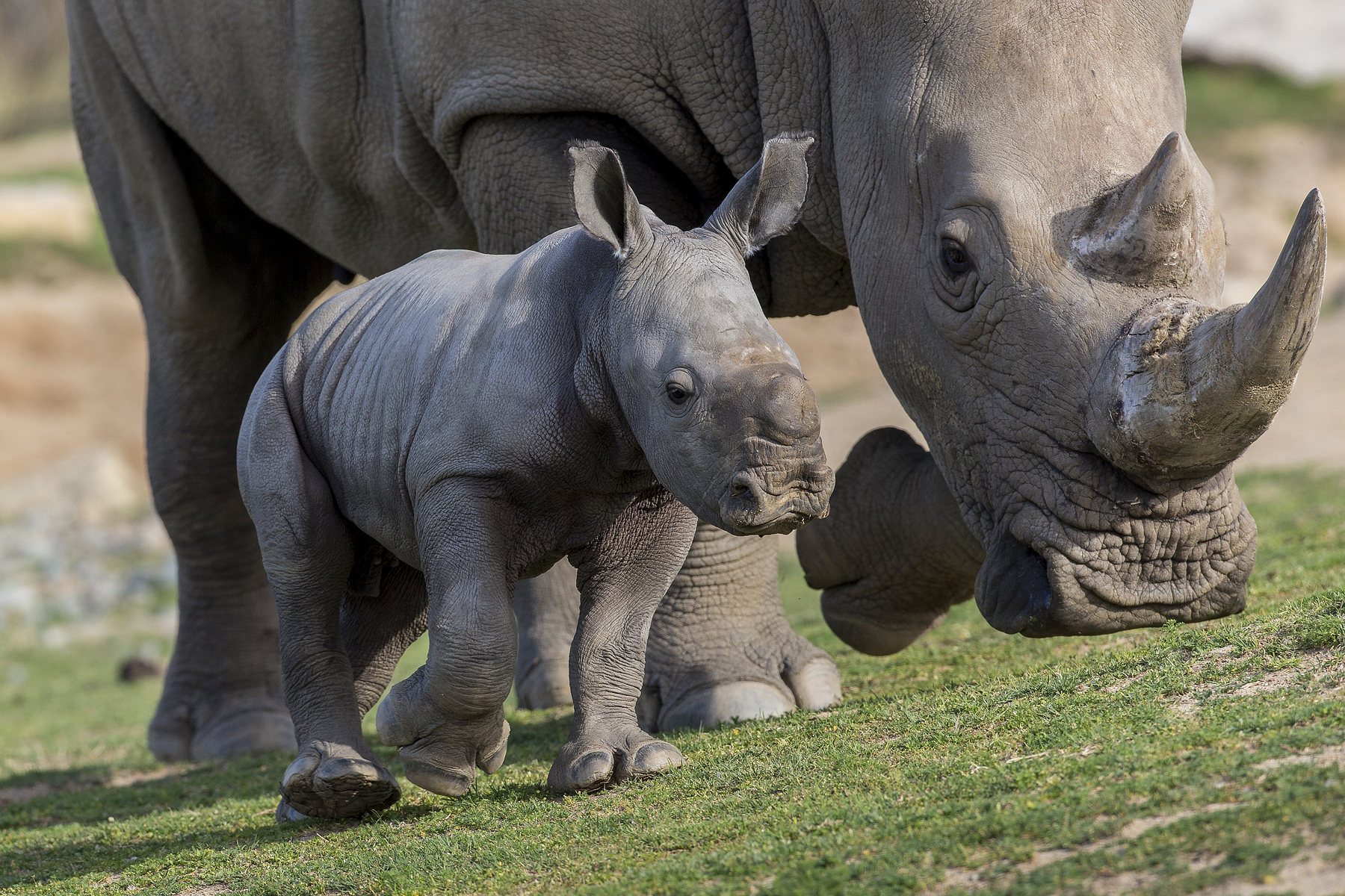 A white Rhino calf and mother