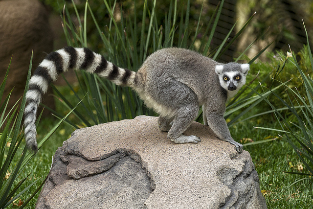 Ring-tailed Lemur has a rudder like tail