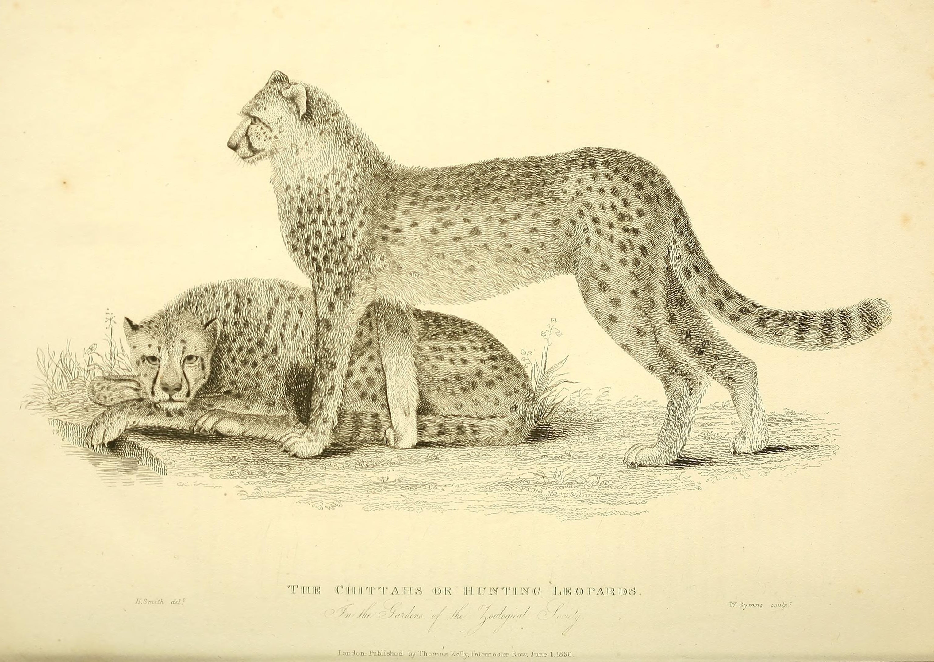 a drawing of cheetahs
