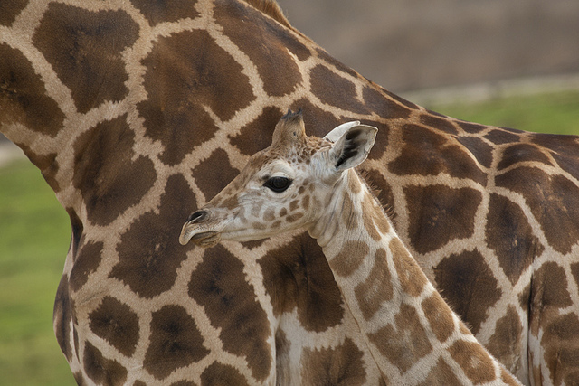 spots on giraffe mom and baby