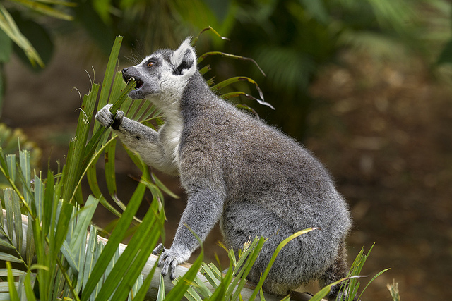 Ring-tailed lemur eating leaves