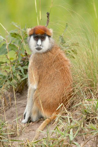 an adult female Eastern patas monkey