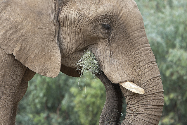 an African Elephant eating